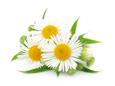 LouLouBelle Skincare uses 95% natural ingredients such as chamomile (above), mandarin and lavender.